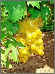 Muscat Moscato Grapes...