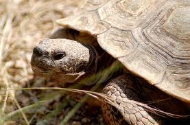 Desert Tortoise...