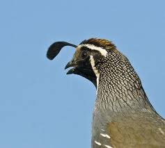 California Valley Quail..