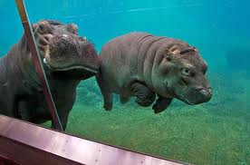 Little baby Hippo!..