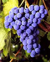 Cabernet Franc Grapes...