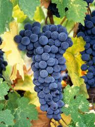 Cabernet Sauvignon Grapes..
