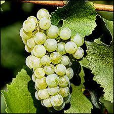 Chardonnay Grapes...