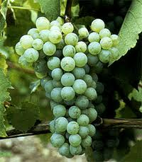Chenin Blanc Grapes...
