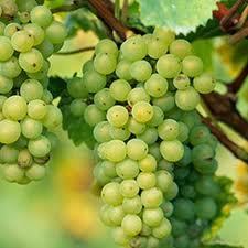 Pinot Blanc Grapes...