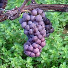 Pinot Grigio Grapes..