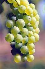 Sauvignon Blanc Grapes...