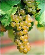 Viognier Grapes...