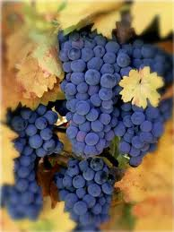 Zinfandel Grapes...