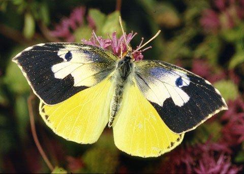 Dogface Butterfly...