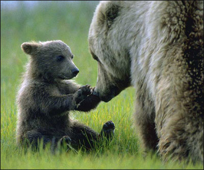 Grizzly Bears...