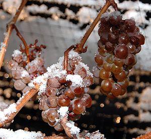 Ice Wine Grapes...