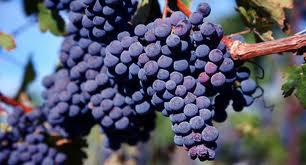 Merlot Grapes..